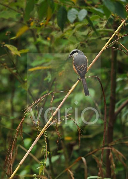 Grey-backed Shrike (Lanius tephronotus) adult, perched on stem, Chiang Dao N.P., Chiang Mai Province, Thailand, November