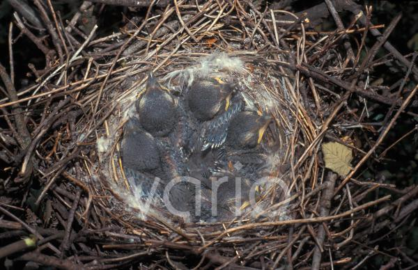 Great Grey Shrike (Lanius excubitor) nest with chicks