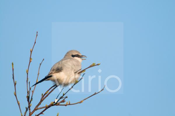 Great Grey Shrike (Lanius excubitor) adult, singing, perched on twig, Kelling Heath, Norfolk, England, april