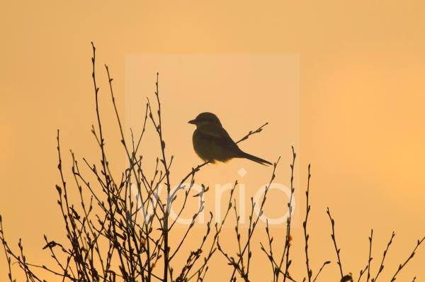 Great Grey Shrike (Lanius excubitor) adult, perched on twig, silhouetted at dusk, Kelling Heath, Norfolk, England, april
