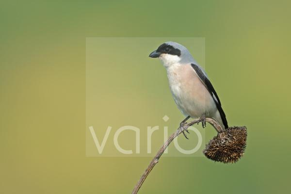 Lesser Grey Shrike (Lanius minor) adult, perched on dry sunflower inflorescense, Bulgaria, may