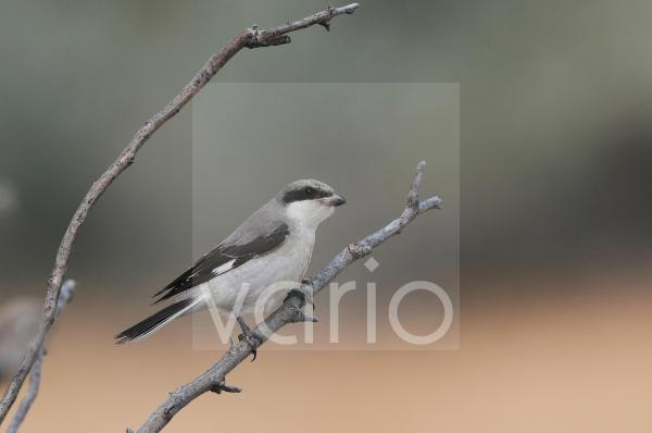 Lesser Grey Shrike (Lanius minor) immature, first winter plumage, perched on twig, Lemnos, Greece, September