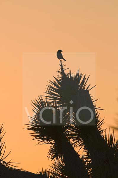Loggerhead Shrike (Lanius ludovicianus) adult, perched on Joshua Tree (Yucca brevifolia), silhouetted at sunset, Joshua Tree N.P., California, U.S.A., april