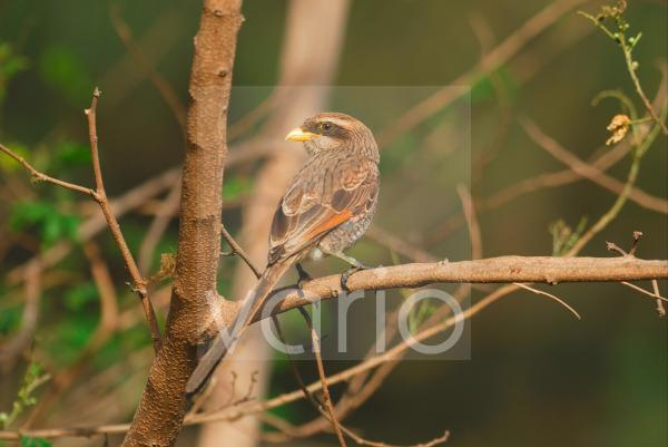 Yellow-billed Shrike (Corvinella corvina) adult, perched on branch in resort grounds, Gambia, april