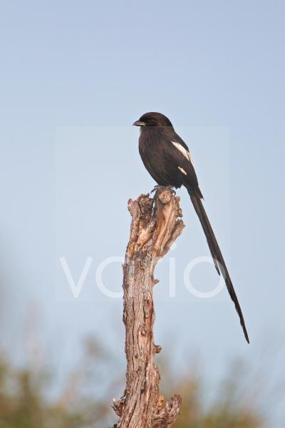 Magpie Shrike (Corvinella melanoleuca) adult, perched on dead branch, Okavango Delta, Botswana