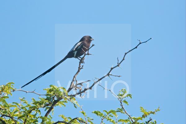 Magpie Shrike (Corvinella melanoleuca) adult, perched on acacia twig, Okavango Delta, Botswana