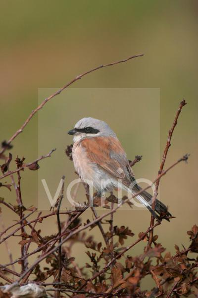 Red-backed Shrike (Lanius collurio) adult male, perched in hawthorn bush, Suffolk, England