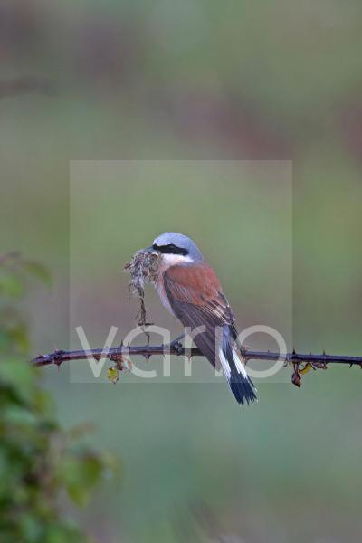 Red-backed Shrike (Lanius collurio) adult male, with nesting material in beak, perched on bramble after rainfall, Northern Spain, june