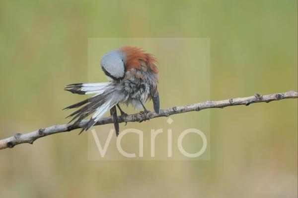 Red-backed Shrike (Lanius collurio) adult male, preening, perched on twig, Bulgaria, may