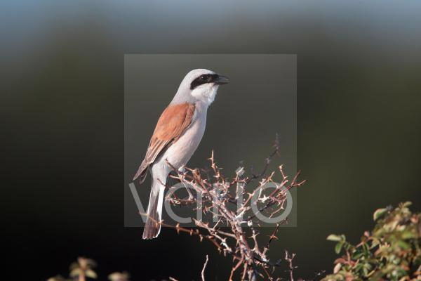 Red-backed Shrike (Lanius collurio) adult male, calling, perched on twigs, Bulgaria, may