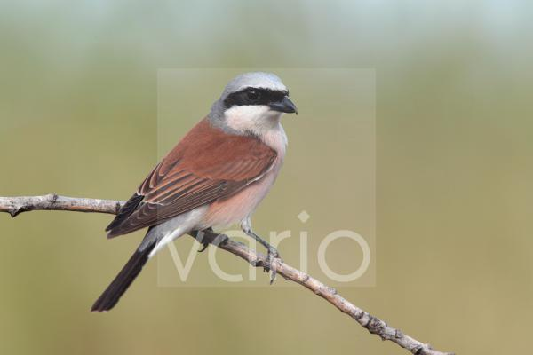 Red-backed Shrike (Lanius collurio) adult male, perched on twig, Bulgaria, may