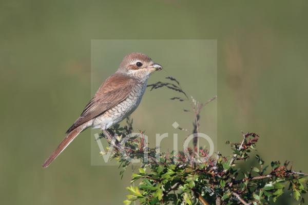 Red-backed Shrike (Lanius collurio) adult female, with insect in beak, perched on twig, Bulgaria, may