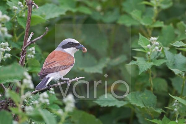 Red-backed Shrike (Lanius collurio) adult male, with spider prey in beak, perched on stem, Bulgaria, may