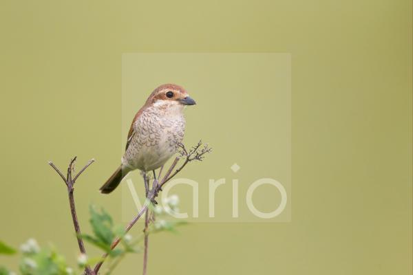 Red-backed Shrike (Lanius collurio) adult female, perched on stem, Bulgaria, may