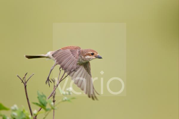 Red-backed Shrike (Lanius collurio) adult female, in flight, taking off from stem, Bulgaria, may