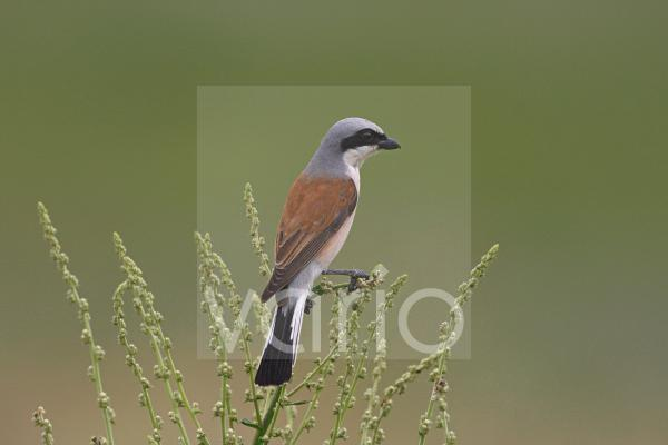 Red-backed Shrike (Lanius collurio) adult male, perched on stem, Bulgaria, may