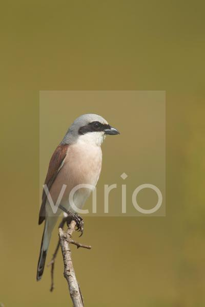 Red-backed Shrike (Lanius collurio) adult male, perched on twig, Bulgaria