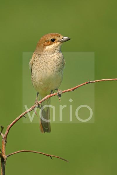 Red-backed Shrike (Lanius collurio) adult female, perched on twig, Bulgaria, may