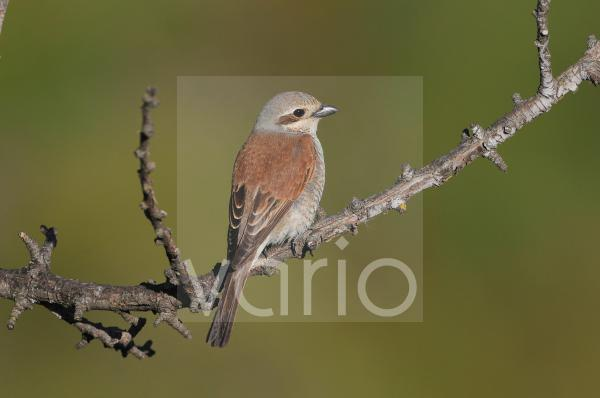 Red-backed Shrike (Lanius collurio) adult female, perched on twig, Lemnos, Greece, May