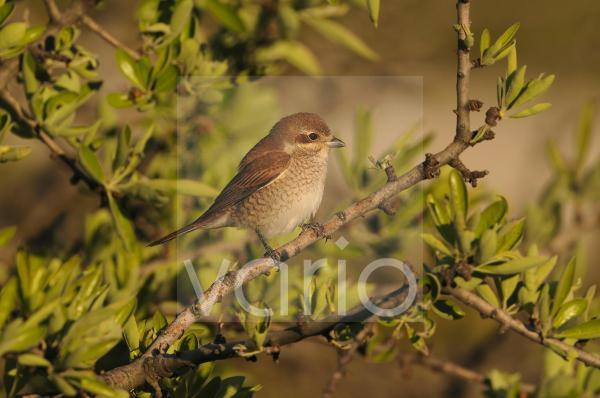 Red-backed Shrike (Lanius collurio) immature female, perched on twig, Lemnos, Greece, May