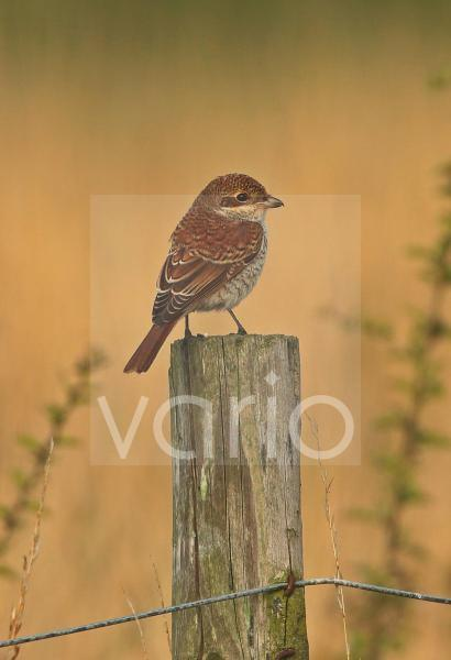 Red-backed Shrike (Lanius collurio) immature, first winter plumage, perched on fencepost, Sea Palling, Norfolk, England, August