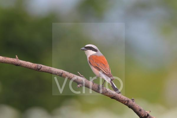Red-backed Shrike (Lanius collurio) adult male, perched on branch, Bulgaria, June