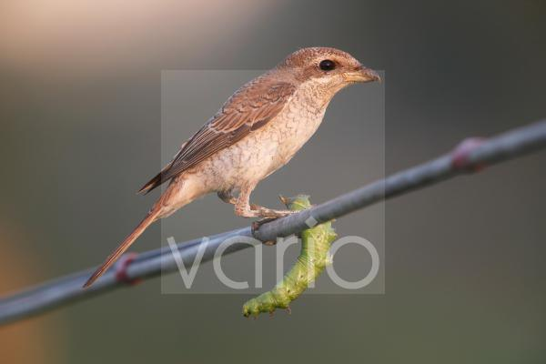 Red-backed Shrike (Lanius collurio) immature, first winter plumage, holding caterpillar prey in claws, perched on wire, Hong Kong, China, October