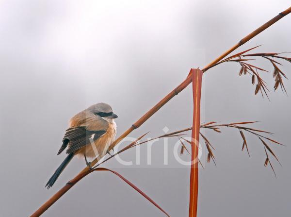 Long-tailed Shrike (Lanius schach) adult, perched on stem, Uttaranchal, India, january
