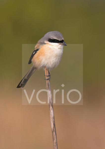 Long-tailed Shrike (Lanius schach) adult, perched on reed stem, Northern India, january