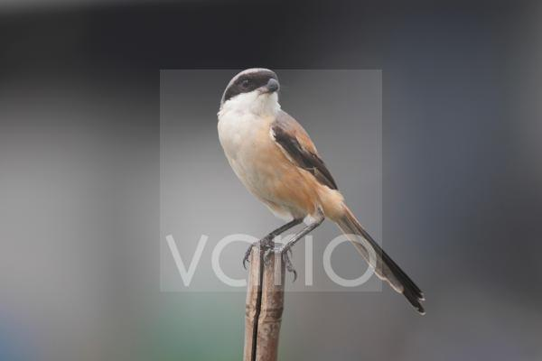 Long-tailed Shrike (Lanius schach) adult, perched on bamboo pole, Mai Po, New Territories, Hong Kong, China, August