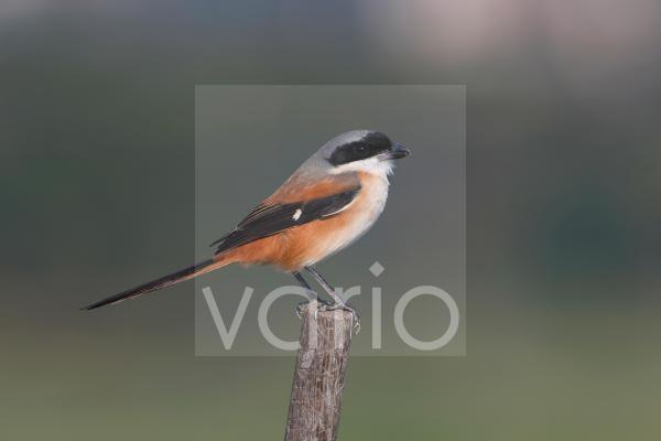 Long-tailed Shrike (Lanius schach) adult, perched on stick, Hong Kong, China, December