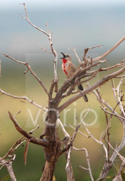 Rosy-patched Bushshrike (Rhodophoneus cruentus) adult male, singing, perched in dead bush, Tsavo East N.P., Kenya, november