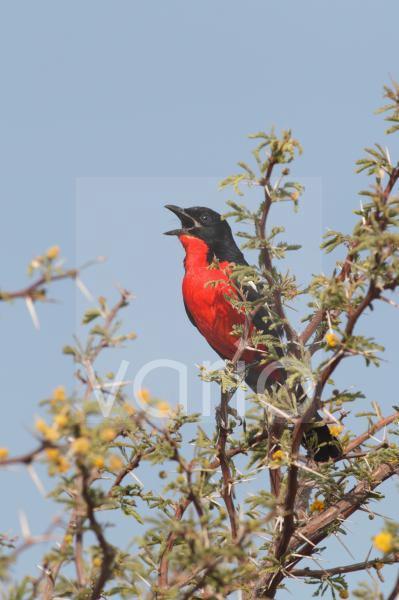 Crimson-breasted Gonolek (Laniarius atrococcineus) adult male, calling, perched on thorn tree, Kgalagadi Transfrontier Park, Kalahari Gemsbok N.P., Northern Cape, South Africa, October