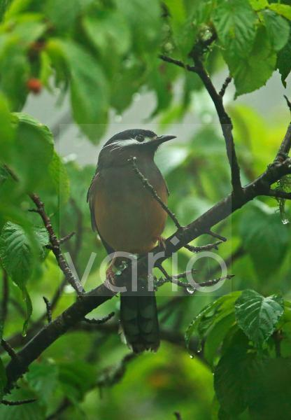 White-eared Sibia (Heterophasia auricularis) adult, perched in fruiting tree during rainfall, Dasyueshan National Forest, Taiwan, April