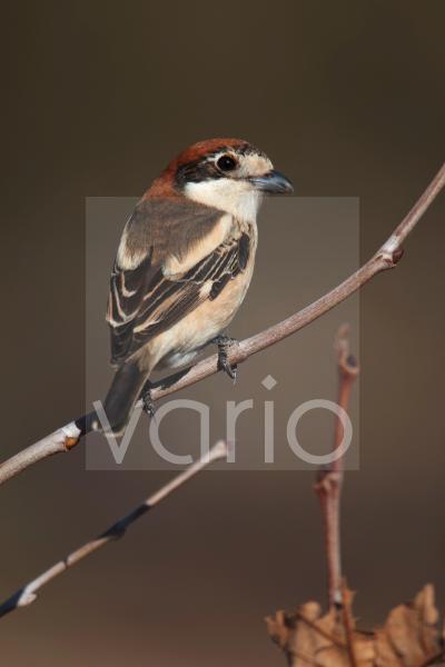Woodchat Shrike (Lanius senator) adult female, perched on twig, Marrakech, Morocco, february