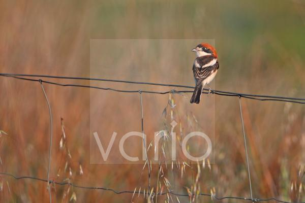 Woodchat Shrike (Lanius senator) adult male, perched on wire fence in steppe, La Serena, Badajoz, Extremadura, Spain, march