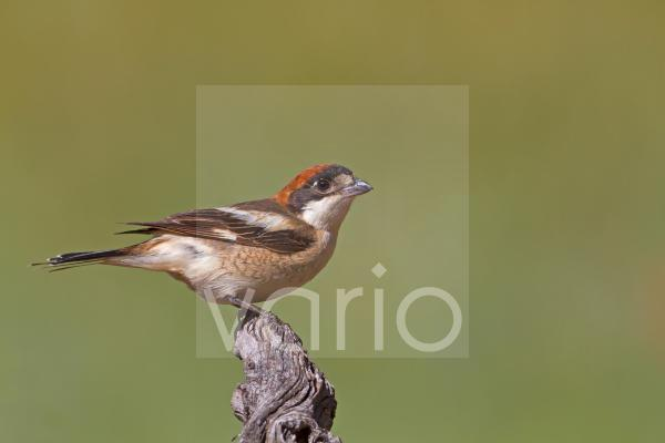 Woodchat Shrike (Lanius senator) adult female, perched on branch, Castilla y Leon, Spain, may