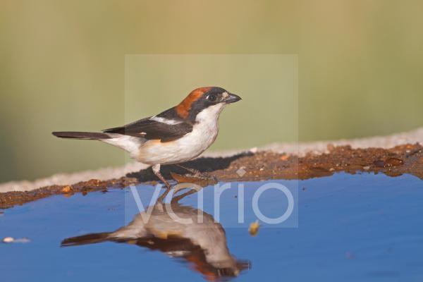 Woodchat Shrike (Lanius senator) adult male, drinking at pool, Castilla y Leon, Spain, june