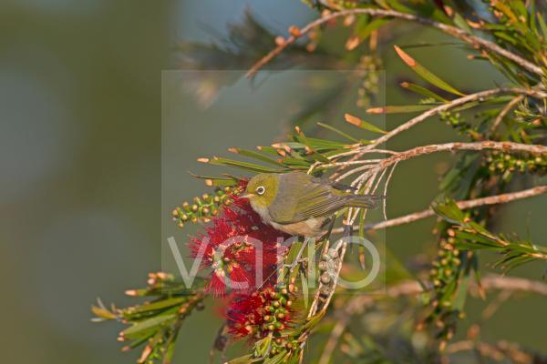Silvereye (Zosterops lateralis) adult, perched in flowering tree, New Zealand, november