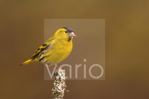 Eurasian Siskin (Carduelis spinus) adult male, perched on lichen covered twig, Rothiemurchus Forest, Highlands, Scotland