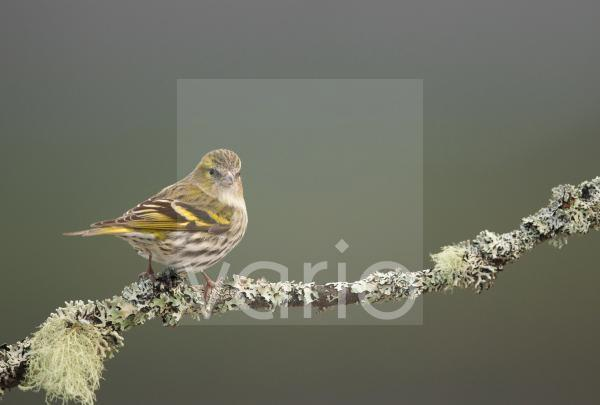 Eurasian Siskin (Carduelis spinus) adult female, perched on lichen covered twig, Scotland, February