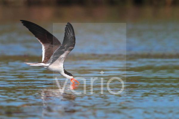 African Skimmer (Rynchops flavirostris) adult, in flight, feeding by skimming surface of water, Okavango Delta, Botswana