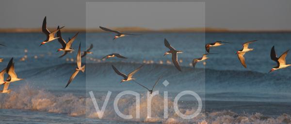 Black Skimmer (Rynchops niger) flock, in flight over sea, New York, U.S.A.
