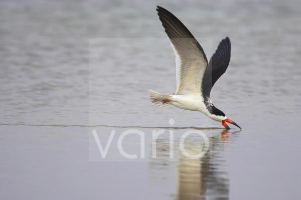 Black Skimmer (Rynchops niger) adult, in flight, feeding by skimming surface of water, Fort de Soto, Florida, U.S.A.