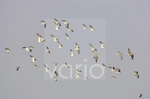 Black Skimmer (Rynchops niger) flock, in flight, Fort de Soto, Florida, U.S.A.