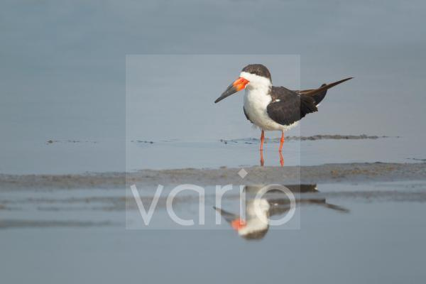 Black Skimmer (Rynchops niger) adult, standing in shallow water, South Padre Island, Texas, U.S.A., may