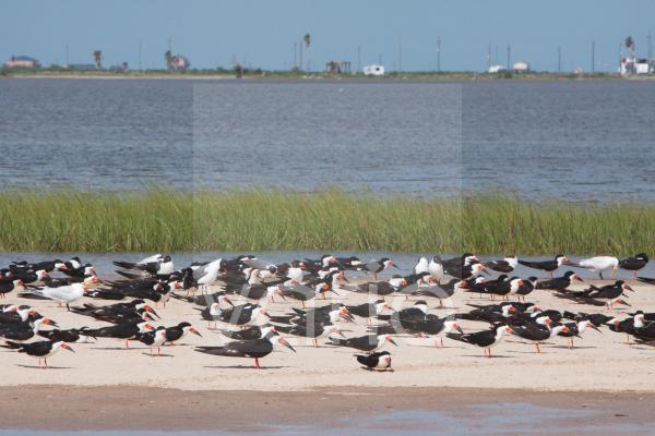 Black Skimmer (Rynchops niger) flock, resting on sandbar at high tide, Bolivar Flats, Upper Texas Coast, Texas, U.S.A., april