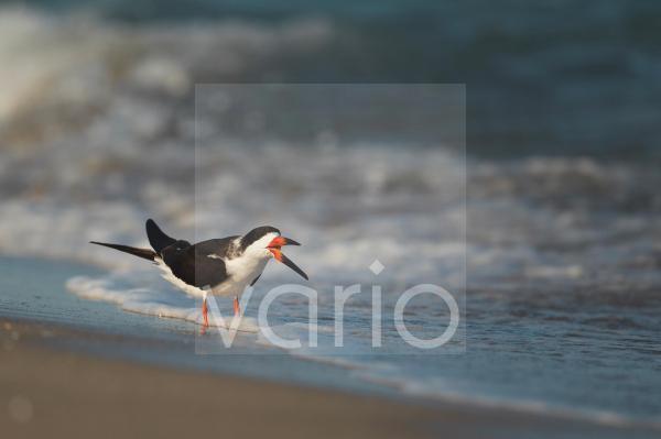 Black Skimmer (Rynchops niger) adult, drinking, standing in surf on beach, Florida, U.S.A., February