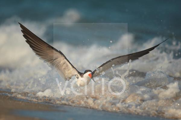 Black Skimmer (Rynchops niger) adult, with wings raised, in surf on beach, Florida, U.S.A., February