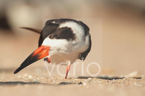 Black Skimmer (Rynchops niger) adult, preening, standing on beach, Florida, U.S.A., February